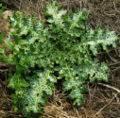 Plantas para la vesícula biliar