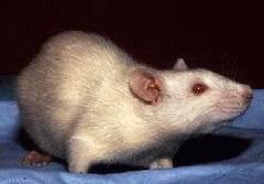 Mujer rata