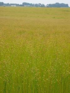 Cultivo de lino dorado