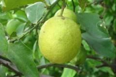Limón para cabellos resecos